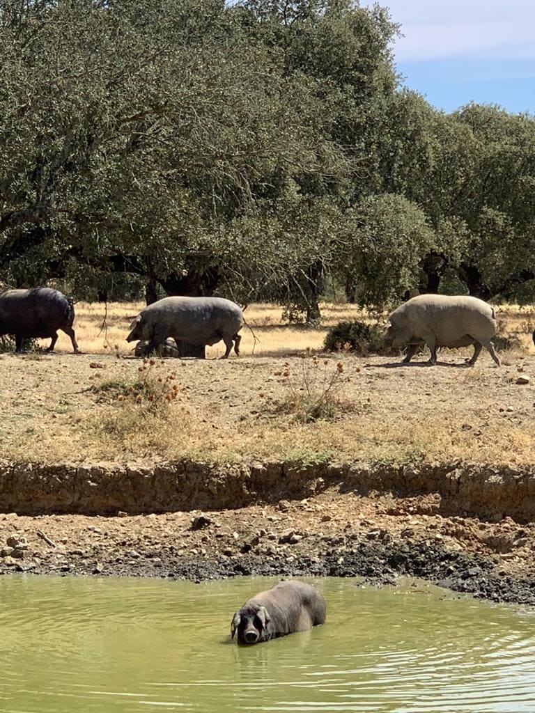 La raza ibérica del cerdo ibérico MadeinSpain, prioridad para nuestra gastronomía